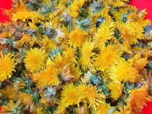 Flori de păpădie proaspăt culese